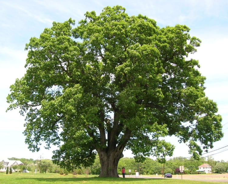Oak Tree symbol for RiseOak